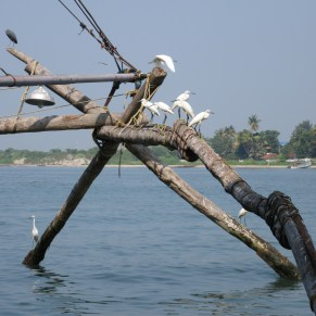Yellow billed egrets on a submerged net. Fort Kochi