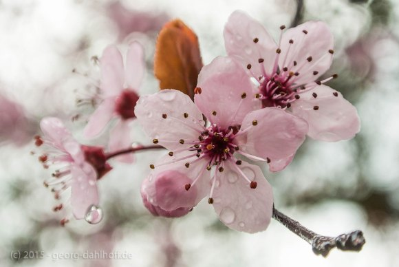 Blutpflaumenblüten nach dem Regen - Bild Nr. 201504044557