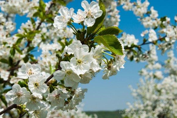 Kirschblüte - Bild Nr. 201305058820