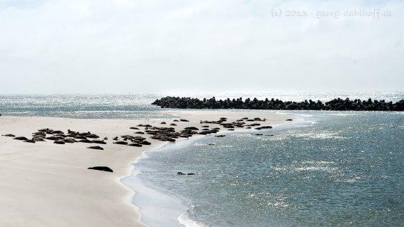 Seehunde und Kegelrobben am Strand - Bild Nr. 201306038975