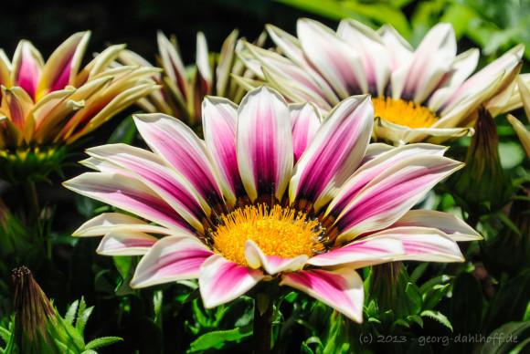 Mittagsblume - Bild Nr. 201307131634