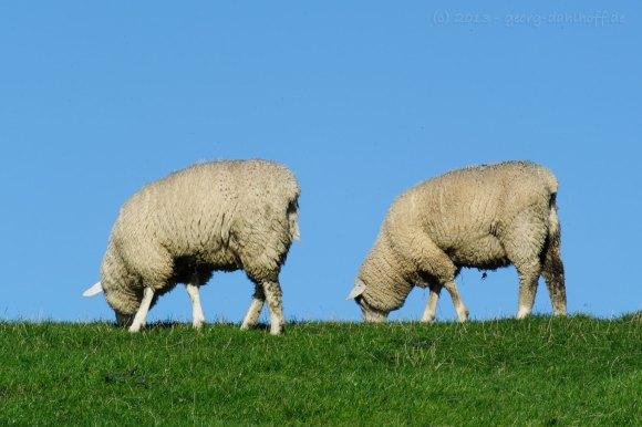 Schafe auf dem Deich bei Husum - Bild Nr. 201310182046