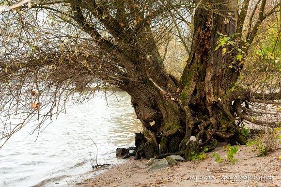 Alter Baum am Rheinufer - Bild Nr. 201311171716
