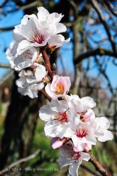 Mandelblüte - Bild Nr. 201403092463