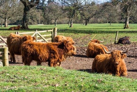 Rinder im Park von Glamis Castle - Bild Nr. 201403232569