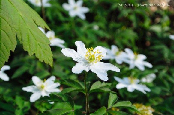 Buschwindröschen (Anemone nemorosa) - Bild Nr. 201404062757