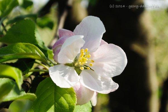 Apfelblüte - Bild Nr. 201404062763