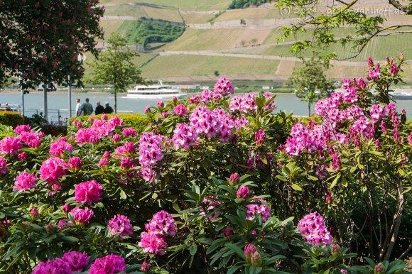Rhododendren am Rheinufer in Bingen - Bild Nr. 201405040372