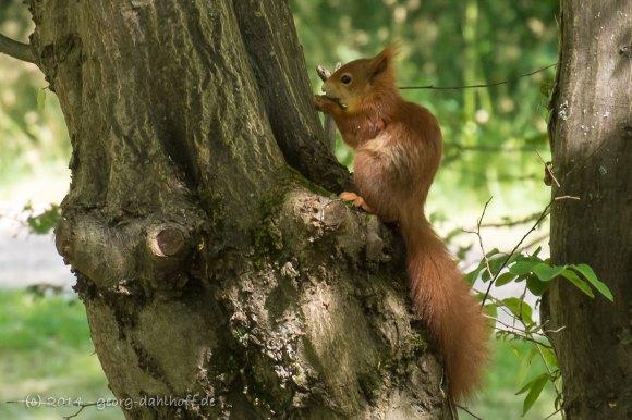 Eichhörnchen - Bild Nr. 201406093099
