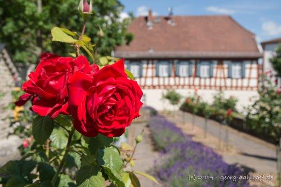 Rosen im Kirchgarten - Bild Nr. 201406150745