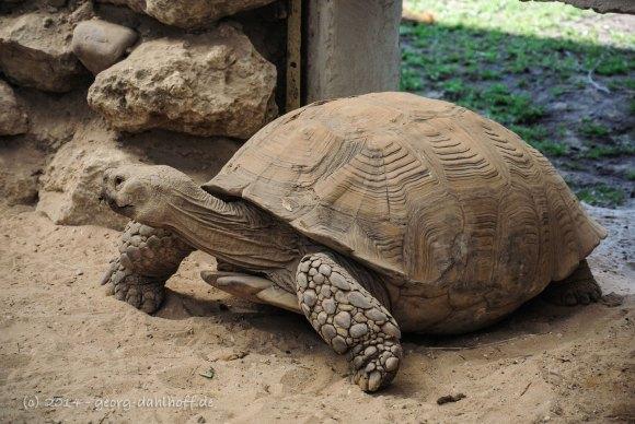 Spornschildkröte - Bild Nr. 201410043895