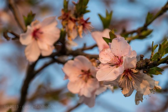 Mandelblüten im Abendlicht - Bild Nr. 201504091997