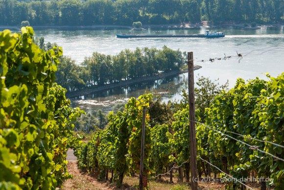 Blick vom Weinberg auf die Südspitze der Rheininsel Kisselwörth - Bild Nr. 201508230827