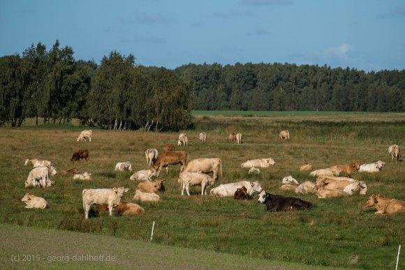Rinderherde auf Ummanz - Bild Nr. 201509263277