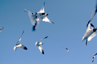 laughing gulls at Cedar Key