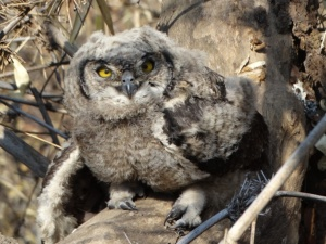 Two weeks after the fire, I spotted two owlets, including this one.