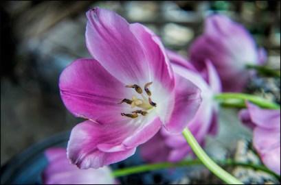 Wild Tulip Girl