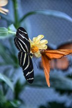 Butterfly-Orange-Black