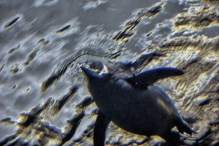 Penguin-Swimming-I
