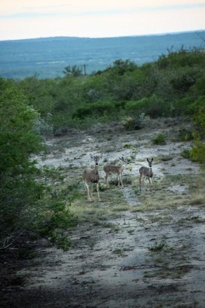 Deer-Three