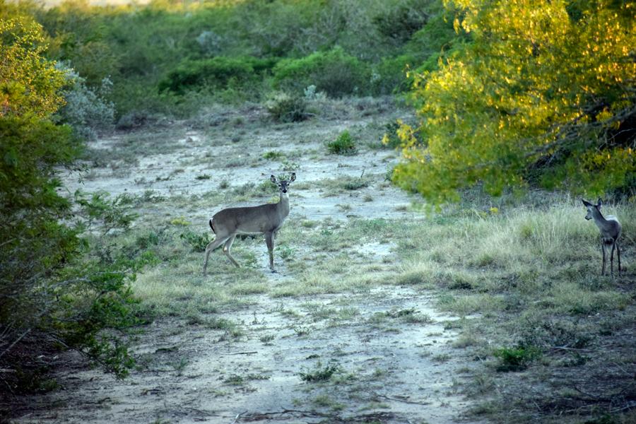 Deer-two