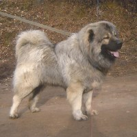 About Dogs - Caucasian Shepherd Dogs