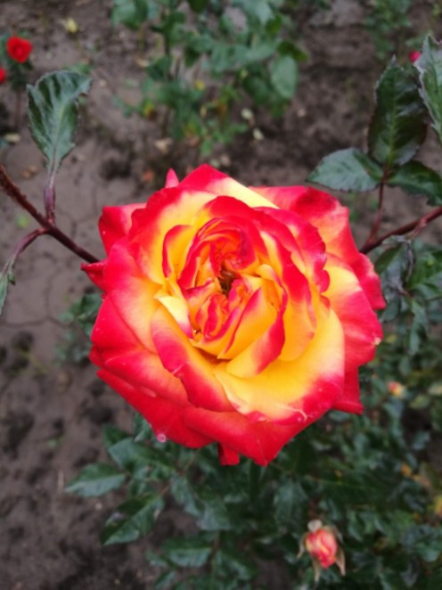 Trandafir rosu oranj