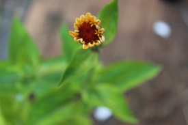 my first zinnia about to open