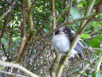 Long tail tit Fledgling (sorry not very clear)