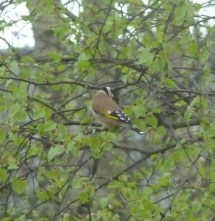 Goldfinch back view