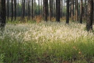 Congongrass flowering (photo by Bill Lamp, Georgia Forestry Commission)