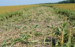 Crop damage from hogs (photo by Tyler Campbell, USDA)