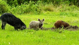 Wild hogs in a field (photo credit: NASA)