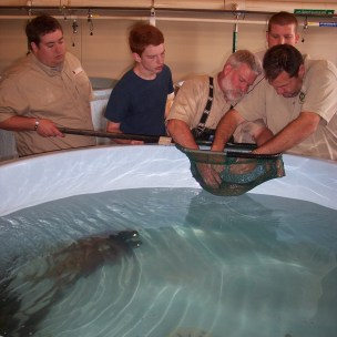 Walleye spawning at the Go Fish Center hatchery