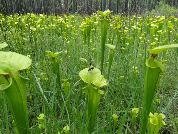 Pitcherplants_DoerunPitcherplantBogNaturalArea_Rick Lavender_DNR