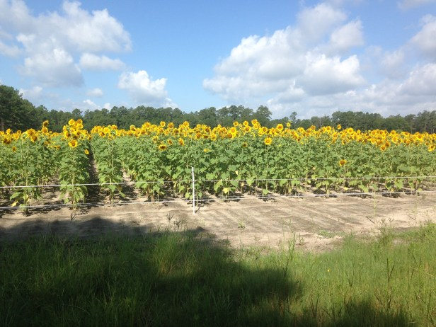 River Creek Sunflowers