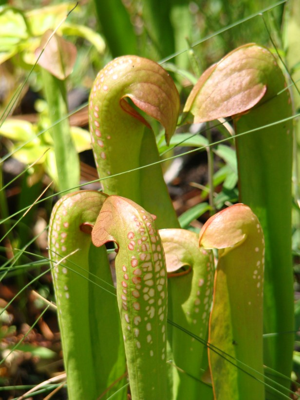 sarracenia_minor_chritafrangiamore