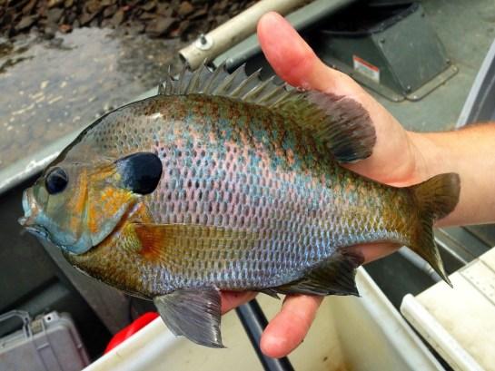 sunfish bluegill big Blue Ridge sample Damer May2107 small