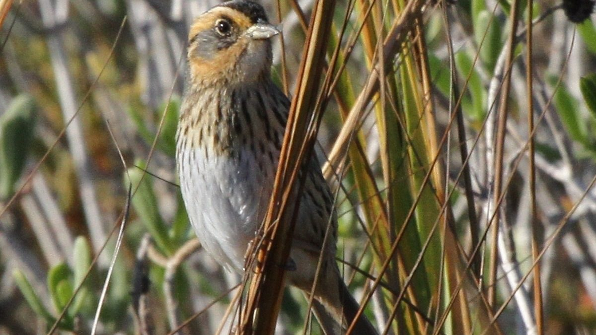 Shadowing Saltmarsh Sparrows to Help Save Them