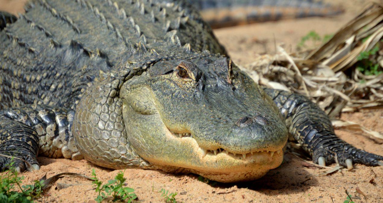 Alligator Quota Hunts