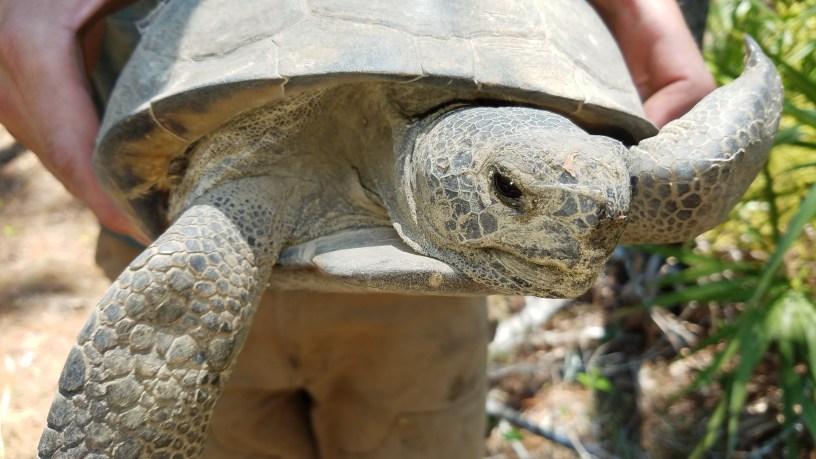 Gopher Tortoise - Kathleen Allen