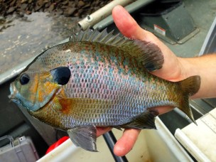 Bluegill Sunfish from Lake Blue Ridge