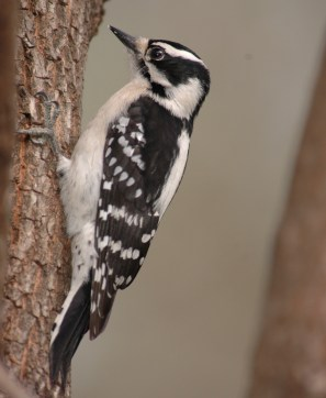 Female Downy Woodpecker (Photo Credit: Todd Schneider)