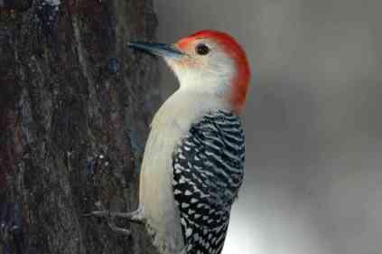 Red-bellied Woodpecker5A.Todd Schneider
