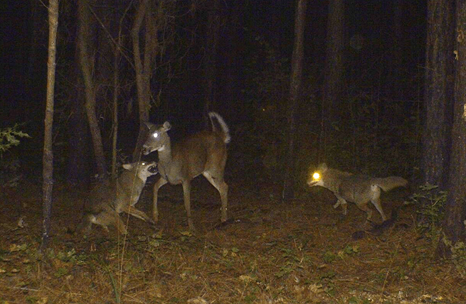 Georgia Coyote Challenge: Need to Know Info