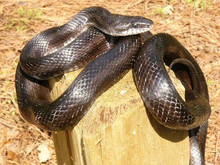 Rat snake_Monroe Co.__John Jensen_GaDNR