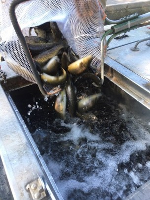 Burton browns into truck for Rabun stocking 8-30-18