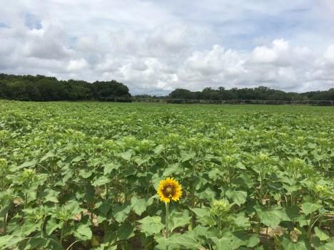 Elmodel_Sunflower Stalk