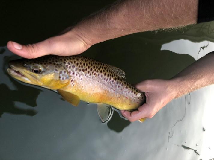 trout bnt Hooch TW Browniez Sept 2018