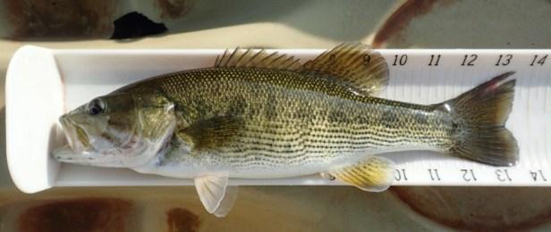 Altamaha Bass IV